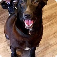 Labrador Retriever Mix Puppy for adoption in Paducah, Kentucky - Kovu