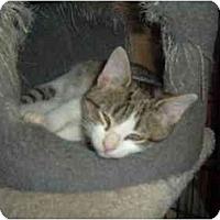 Adopt A Pet :: Puss n Boots - Bristol, RI