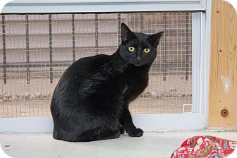 Domestic Shorthair Cat for adoption in Chicago, Illinois - Happy