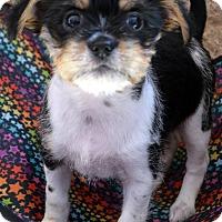 Adopt A Pet :: LoLa - Bridgeton, MO