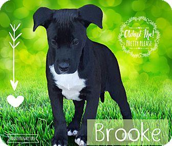 German Shepherd Dog Mix Puppy for adoption in West Hartford, Connecticut - Brook