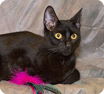 Domestic Shorthair Cat for adoption in Elmwood Park, New Jersey - Molly