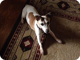 Jack Russell Terrier Mix Dog for adoption in Richmond, Virginia - Casey
