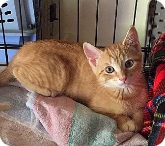 Domestic Shorthair Kitten for adoption in Spencer, New York - Byron