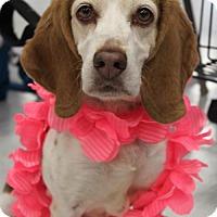 Beagle Dog for adoption in Livonia, Michigan - Victoria ♥