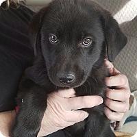 Adopt A Pet :: midus - Las Vegas, NV