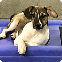 Adopt A Pet :: Applejacks - Redding, CA