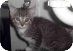 Domestic Mediumhair Kitten for adoption in Miami Beach, Florida - Chelsie,FL