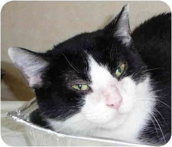 Domestic Shorthair Cat for adoption in Chicago, Illinois - Thimbelina