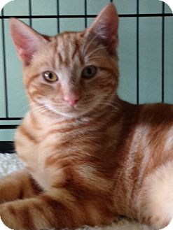 Domestic Shorthair Cat for adoption in Monroe, Georgia - Poncho