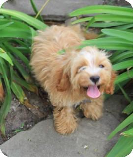 Cockapoo Mix Dog for adoption in Norwalk, Connecticut - Glenda - loves water!