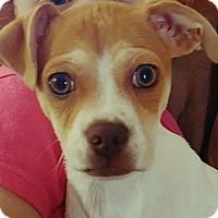 Adopt A Pet :: Destynie - Knoxville, TN