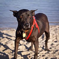 Manchester Terrier Mix Dog for adoption in Orange, California - Francis