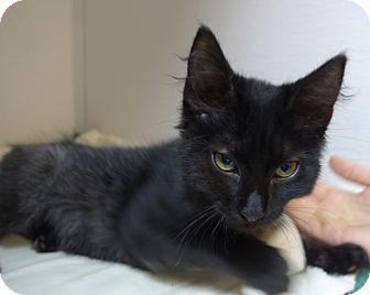 Domestic Shorthair Kitten for adoption in Manning, South Carolina - Oscar
