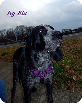 Bluetick Coonhound Mix Dog for adoption in Washington, Pennsylvania - Ivy Blu