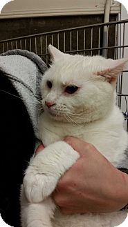 Domestic Mediumhair Cat for adoption in Alpharetta, Georgia - Donny