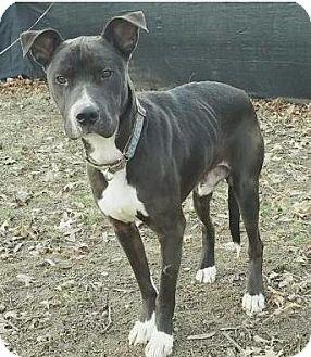 Pit Bull Terrier Dog for adoption in Mission, Kansas - Computer Jock