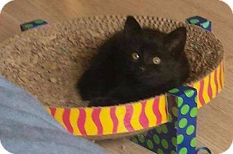 Domestic Shorthair Kitten for adoption in Ocala, Florida - Orzo