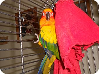 Conure for adoption in Neenah, Wisconsin - Woody
