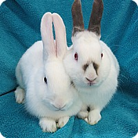 Adopt A Pet :: Merry-Belle - Los Angeles, CA