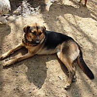 German Shepherd Dog/Hound (Unknown Type) Mix Dog for adoption in Columbia, Kentucky - Tippy