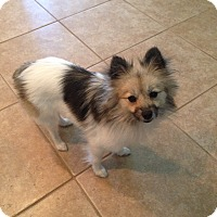 Adopt A Pet :: Foxie - Kingwood, TX