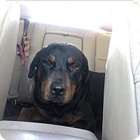 Adopt A Pet :: Jude - Gilbert, AZ