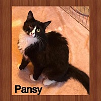 Adopt A Pet :: Pansy - Surprise, AZ