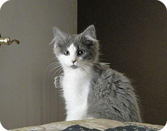 Domestic Longhair Kitten for adoption in North Wilkesboro, North Carolina - Harvest