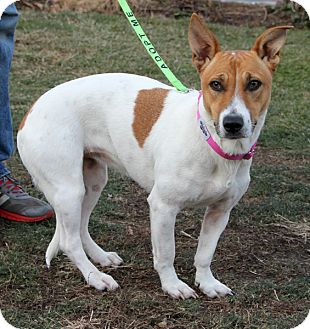 Jack Russell Terrier Mix Dog for adoption in Harrison, New York - Vida