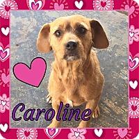 Adopt A Pet :: Caroline - Snyder, TX