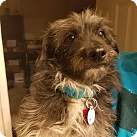 Adopt A Pet :: bootz - Goodyear, AZ