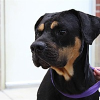 Adopt A Pet :: Atticus - Fairfax Station, VA