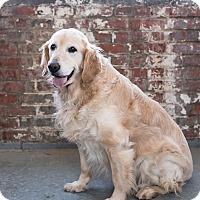 Golden Retriever Mix Dog for adoption in Columbus, Ohio - Molly