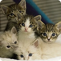 Adopt A Pet :: ROE KITTENS - Houston, TX