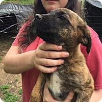 Adopt A Pet :: Tiger - Hillsboro, NH