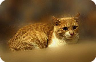 Domestic Shorthair Cat for adoption in Richmond, Virginia - Barney