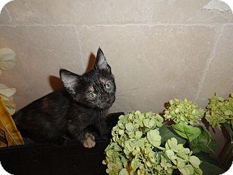 Domestic Shorthair Kitten for adoption in Fountain Hills, Arizona - CADY