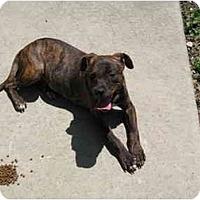 Adopt A Pet :: Chopper - Dallas, PA