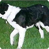 Adopt A Pet :: Belmont Hoot - Tiffin, OH