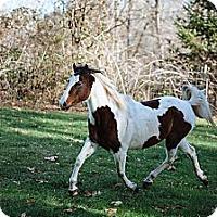 Adopt A Pet :: Secret - Gresham, OR