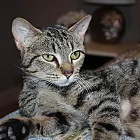 Domestic Shorthair Cat for adoption in Centerville, Georgia - Dalia