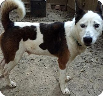 Siberian Husky Dog for adoption in Memphis, Tennessee - Rudy~UPDATE!