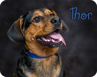 Shepherd (Unknown Type)/Rottweiler Mix Dog for adoption in Somerset, Pennsylvania - Thor