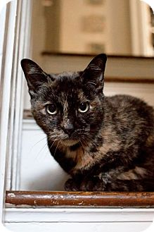 Domestic Shorthair Cat for adoption in Philadelphia, Pennsylvania - CUDDLES!