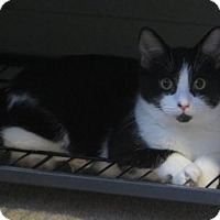 American Shorthair Kitten for adoption in Ellicott City, Maryland - .Hadrian