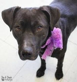 Labrador Retriever Mix Dog for adoption in Yukon, Oklahoma - Pepper