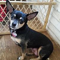 Adopt A Pet :: LATINA( the ballerina) - TAHOKA, TX