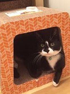 Domestic Shorthair Cat for adoption in Bryn Mawr, Pennsylvania - FIGARO/ dog-alike personality