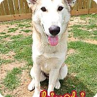 Adopt A Pet :: Kimchi - Carrollton, TX